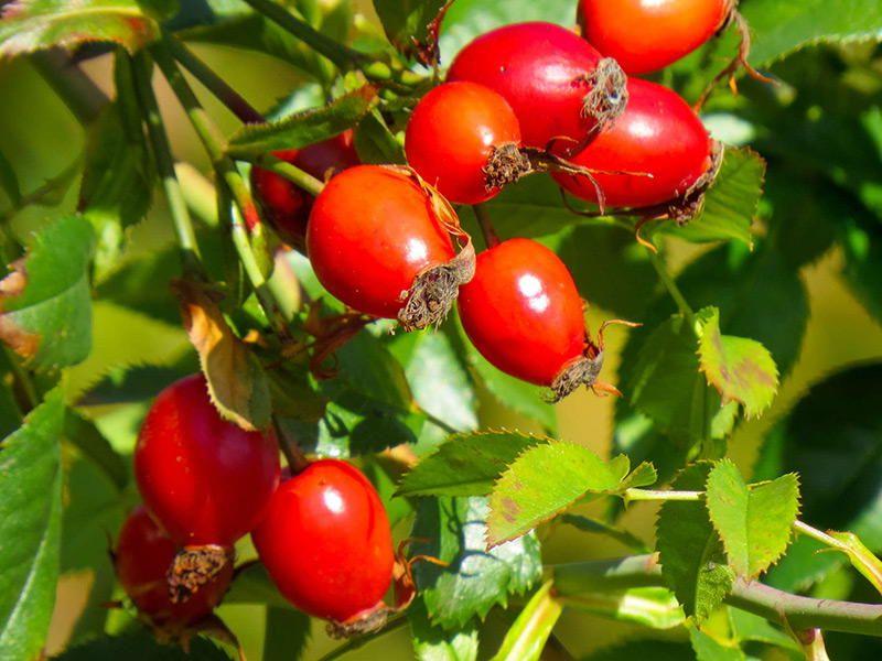 Плоды шиповника - полезные свойства