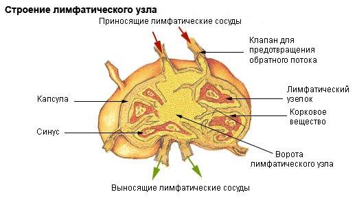 Строение лимфоузла
