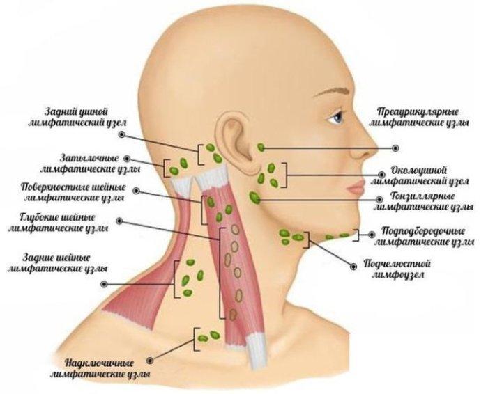 Схема расположения лимфоузлов на голове у человека