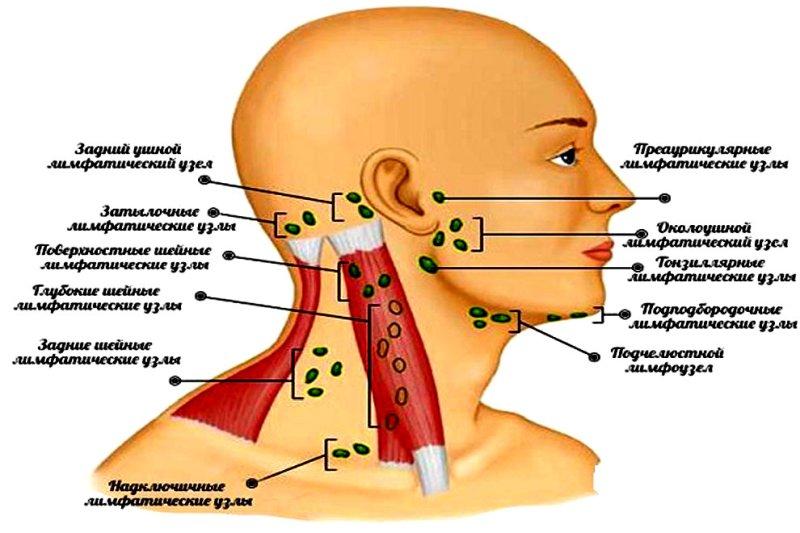 Схема лимфоузлов на шее