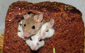 Подопытные мыши